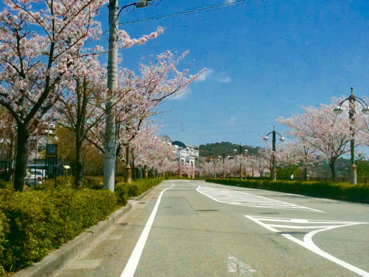 東山台の桜