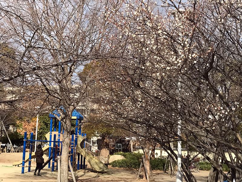 高木公園の梅の木
