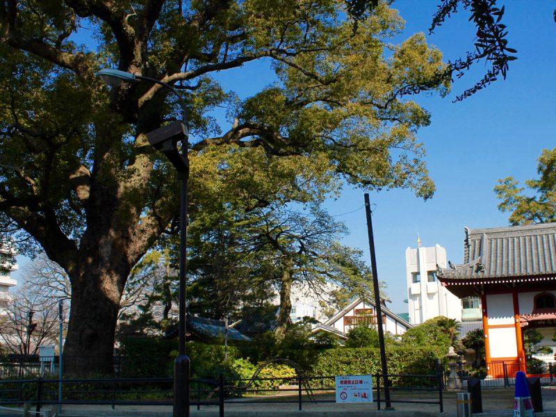 海清寺の大クス