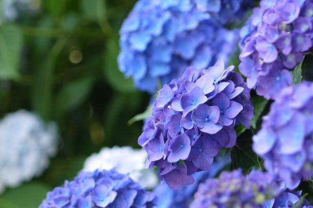 産後うつ 雨上がりの紫陽花